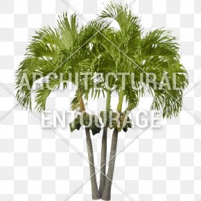 Coconut - Asian Palmyra Palm Coconut Arecaceae Oil Palms Date Palm PNG