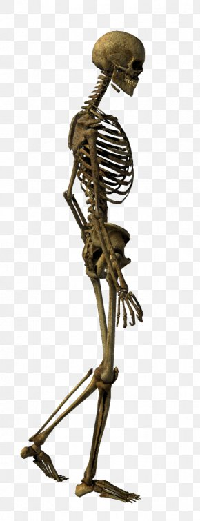 Walking Skeleton - Human Skeleton Bone Clip Art PNG