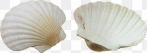 Seashell - Seashell Clip Art PNG