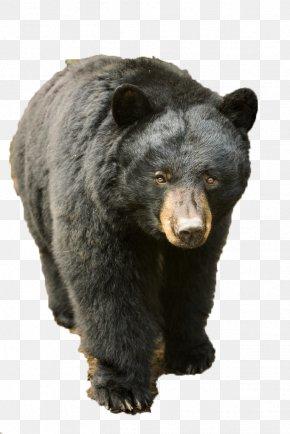 Wild Black Bear - American Black Bear Brown Bear Asian Black Bear Grizzly Bear Black Bear Cub PNG