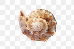 Sea - Shore Seashell Sand Mollusc Shell Canvas Print PNG