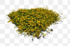 Hypericum Annual Plant - Yellow Plant Flower Tree Grass PNG