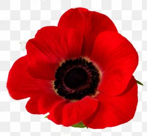 Poppy - Remembrance Poppy Down To Earth Garden Flowers Common Poppy PNG