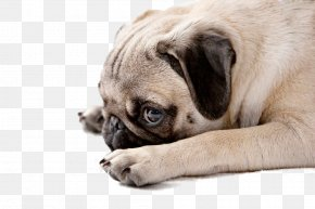 Dog,puppy,pet,animal - Pug Puppy Pet Stock Photography PNG