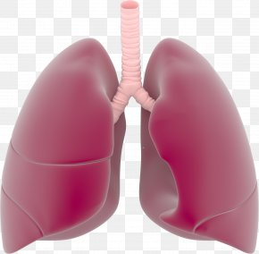 Lungs Transparent Images - Lung Respiratory System Clip Art PNG