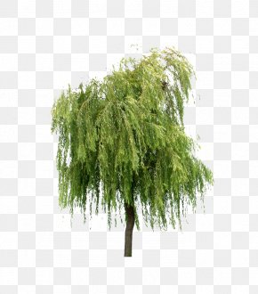 Willow Trees - Willow Tree Layers PNG