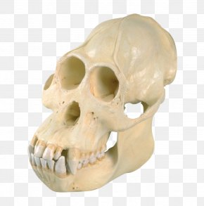 Animal Skull - Orangutan Skull Common Chimpanzee Western Gorilla Homo Sapiens PNG
