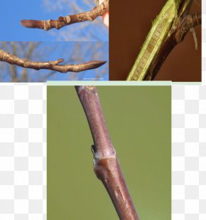 Nandina Domestica Thunb - Twig Liriodendron Tulipifera Bud Leaf Branch PNG
