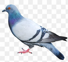 Pigeon Image - Domestic Pigeon Columbidae Bird PNG