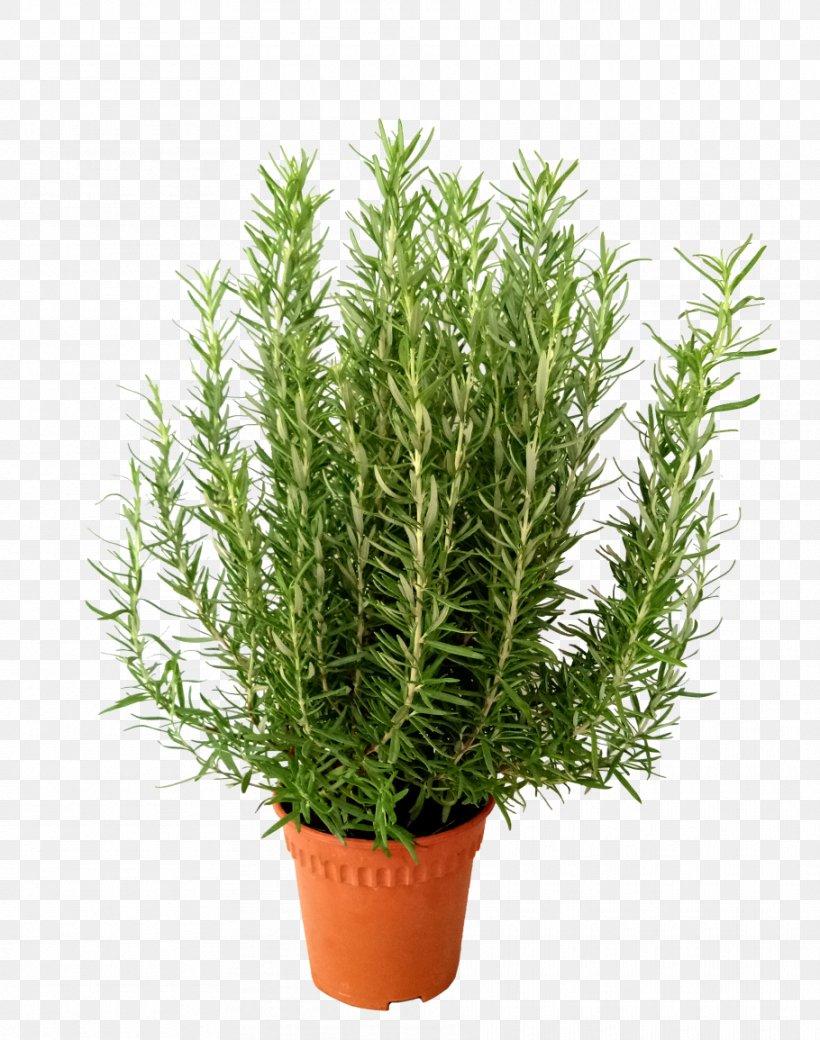 Rosemary Herb Flowerpot Shrub Plant Png 910x1155px Rosemary