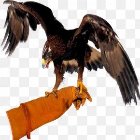 Falconry Hawk Boil - Bird Bald Eagle Clip Art PNG