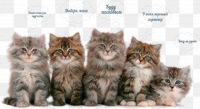 Kitten - Kitten Persian Cat Siberian Cat Norwegian Forest Cat British Semi-longhair PNG