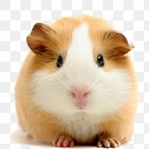 Pale Yellow Guinea Pigs - Vietnamese Pot-bellied Pet Guinea Pigs Dog Rodent PNG