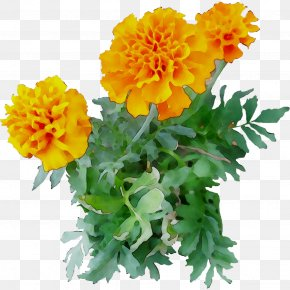 Chrysanthemum English Marigold Yellow Cut Flowers Annual Plant PNG
