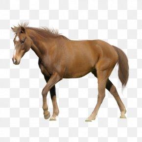 Walking Horse - Tennessee Walking Horse Appaloosa American Miniature Horse Arabian Horse Stallion PNG