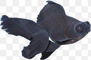 Fish - Black Telescope Ornamental Fish Anubias Barteri PNG