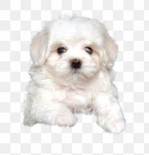 Puppy - Maltese Dog Havanese Dog Bolognese Dog Little Lion Dog Coton De Tulear PNG
