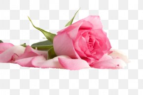 Flower - Pink Flowers Pink Flowers Beach Rose Color PNG