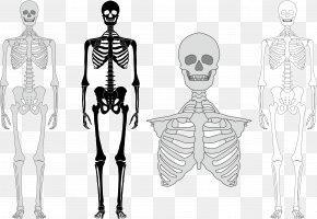 Vector Human Skeleton - Human Skeleton Bone Euclidean Vector PNG