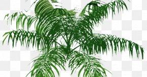 Tree - Arecaceae Tree Plan PNG