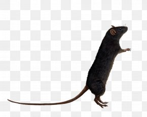 Rat Transparent - Brown Rat Mouse Clip Art PNG