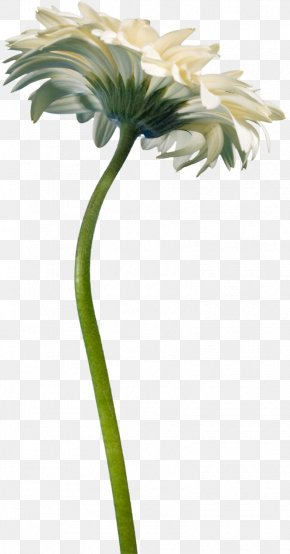Spring Flowers - Cut Flowers Transvaal Daisy Plant Daisy Family PNG