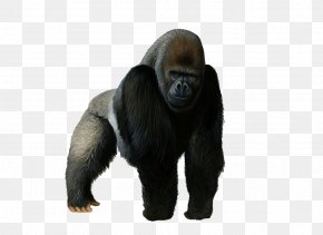 Gorilla Pic - Western Gorilla Mountain Gorilla PNG