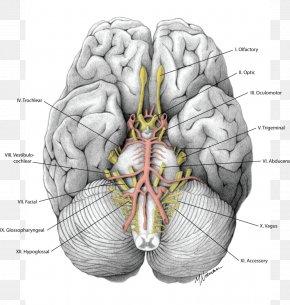 Brain - Brain Cranial Nerves Gray's Anatomy PNG