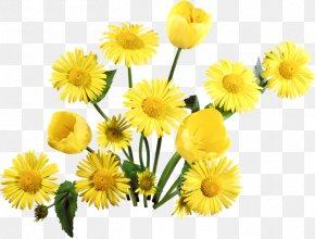 Dandelion - Flower PNG
