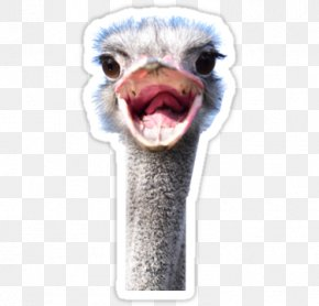 Bird - Common Ostrich Flightless Bird Animal Photography PNG
