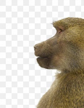 Monkey Watching The Side Elements - Macaque Animal Portraits Gray Wolf Monkey PNG