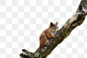 Tail Fox Squirrel - Squirrel Branch Wildlife Fox Squirrel Tail PNG
