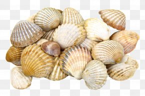 Seashell - Cockle Clam Oyster Seashell PNG