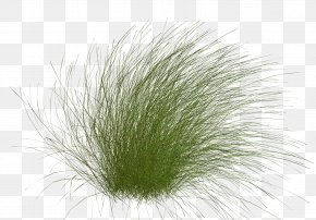 Plant - Close-up Grasses Family PNG