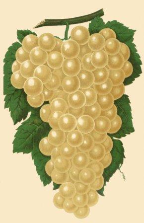 Grapes Drawing - Muscat Wine Petit Manseng Grape Frutti Di Bosco PNG