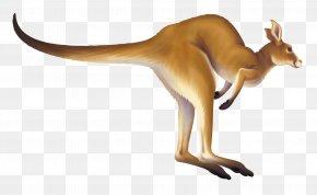 Kangaroo - Torricelli Mountains Tenkile Kangaroo YUS Conservation Area PNG
