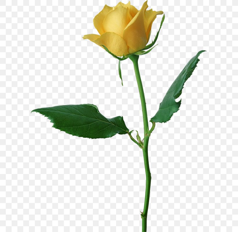 Free Yellow Rose Clipart in AI, SVG, EPS or PSD