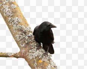 Tree Crow - American Crow New Caledonian Crow Bird Common Raven PNG