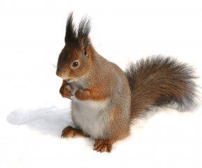 Squirrel - European Pine Marten Eastern Gray Squirrel American Red Squirrel Eurasia Rodent PNG
