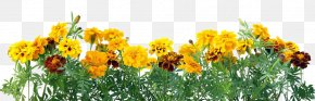 Yellow Chrysanthemum - Mexican Marigold Flower Stock Photography Calendula Officinalis Color PNG