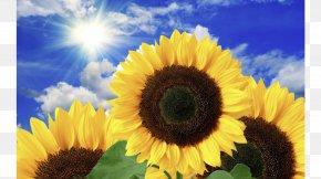 Common Sunflower Torch Натяжна стеля Desktop Wallpaper PNG