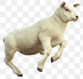 Goat - Counting Sheep Merino Goat Sheep's Meat Image PNG