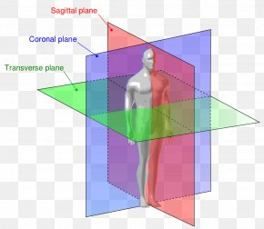 Free Anatomy Images - Anatomy Sagittal Plane Anatomical Terms Of Location Coronal Plane PNG