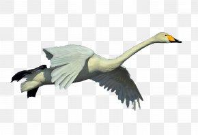 Whooper Swan Flying - Duck Goose Whooper Swan Bird Pelican PNG