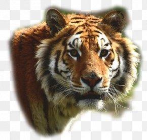 Lion - Felidae Bengal Tiger Lion Big Cat Leopard PNG