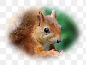 Squirrel - Chipmunk Fox Squirrel Dormouse Whiskers PNG