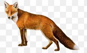 Fox 8 - Red Fox PNG