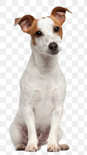 Puppy - Jack Russell Terrier Parson Russell Terrier Puppy Beagle PNG