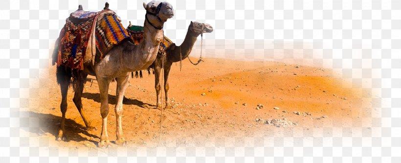 Camel Morocco Desert, PNG, 1600x651px, Camel, Arabian Camel, Camel Like Mammal, Camera, Desert Download Free