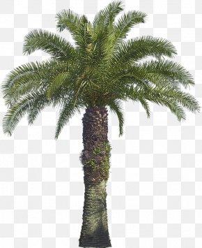 Tree - Arecaceae Tree Coconut Babassu Areca Palm PNG